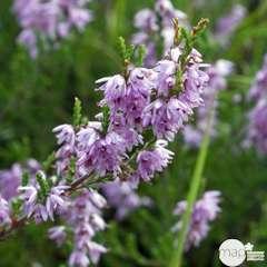 Calluna vulgaris : ctr 3 L, pot décoratif