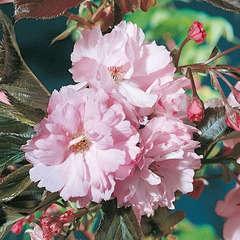 Prunus serrulata ' Royal Burgundy ' : H 100/120 cm ctr 7,5 litres