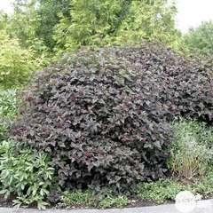 Physocarpus variété: C5L