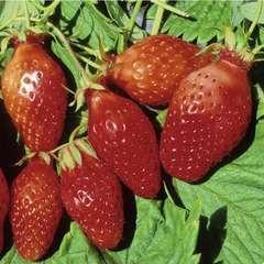 Plant de fraisier 'Ciflorette' : pot de 0,5 litre