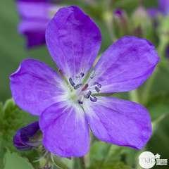 Géranium vivace Mayflower: godet rouge