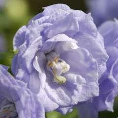 Campanule Blue & White Bali : Pot D10,5 cm - Coloris variables