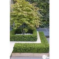 Acer palmatum : ctr 80 L