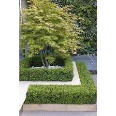 Acer palmatum : ctr 10 L