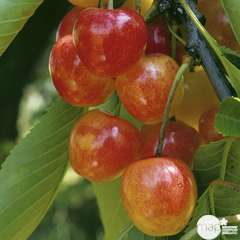 Cerisier Varié : gobelet, C 25 L