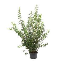 Forsythia x intermedia' Lynwood '  : H 100/125 cm ctr 12 litres.