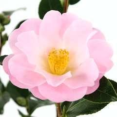 Camellia 'Nicky Crisp' : H 60/70 cm, ctr 8 Litres