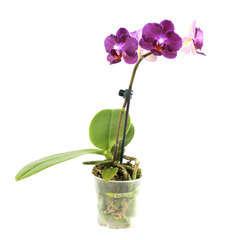 Orchidée Phalaeonopsis 1 tige - pot D.6 cm