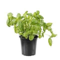 Plant de basilic grandes feuilles bio : pot de 0,75 litre