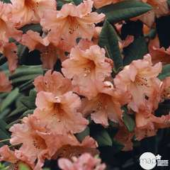 Rhododendron x 'Tortoiseshell' : H 40/50 cm, ctr 7 litres