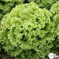 Plants de batavia 'Comice' : barquette de 12 plants
