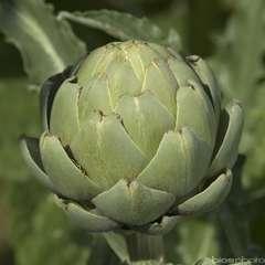 Plant d'artichaut 'Lancelot' F1 : pot de 1 litre