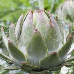 Plant d'artichaut vert 'Globe' : pot de 1 litre