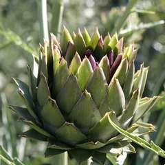 Plant d'artichaut 'Vert de Laon' : pot de 2,5 litres