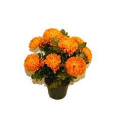 Pot de 14 chrysantheme  tabac , H37CM - L38Cm, 2Kg