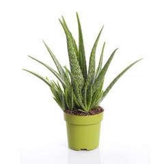 Aloès Véra: Plante Ø15cm pot