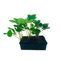 Plants de fraisiers : barquette de 6 plants