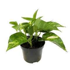 Pothos : plante Ø13cm pot