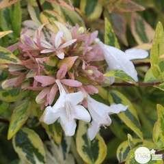 Abelia x grandiflora 'Kaléidoscope'® : ctr 3 litres