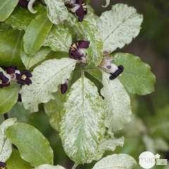 Pittosporum tenuifoluium Irene Patterson : ctr 7,5 litres