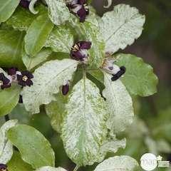 Pittosporum tenuifolium Irene Patterson : ctr 20 litres