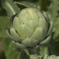 Plant d'artichaut 'Lancelot' F1 : pot de 2,5 litres