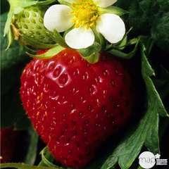 Plants de fraisiers 'Charlotte' : en jardinière de 40 cm