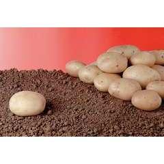 Pomme de terre Bintje Bio calibre 28/40 - clayette de 60 plants