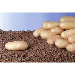 Pomme de terre Charlotte bio 25/32 - clayette 60 plants