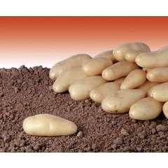 Pomme de terre Linzer Delikatess calibre 25/32 - clayette 60 plans