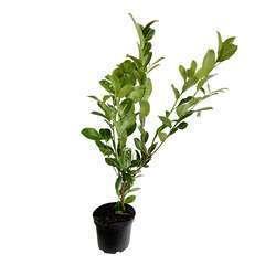 Prunus laurocerasus ' Rotundifolia ' : H 80/100 cm ctr 5 litres