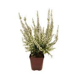 Erica arborea 'Pink Joy' : H 30/40 cm, ctr 3 L