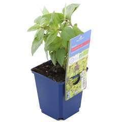 Plant de basilic Cannelle bio : en godet