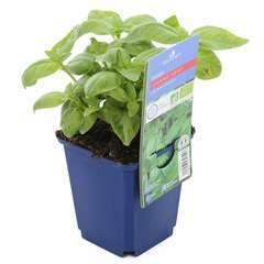Plant de basilic grand vert bio : en godet