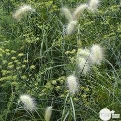 Plant de fenouil commun bio : en godet