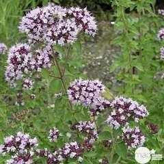 Plant d'origan commun bio : en godet