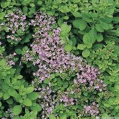 Plant d'origan commun compact bio : en godet