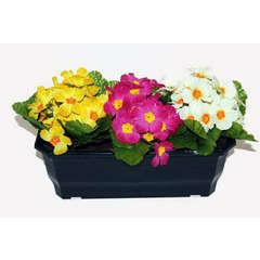 Jardinière 30Cm de primevères en couleurs assorties, H25 CM - L38 Cm