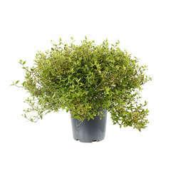 Abelia x grandiflora 'Kaléidoscope'® : conteneur 7,5 litres