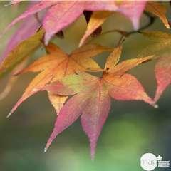 Acer palmatum : ctr 7 L- Variétés variables