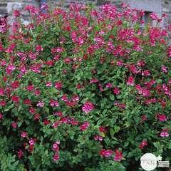 Salvia Grahamii : ctr 4 litres
