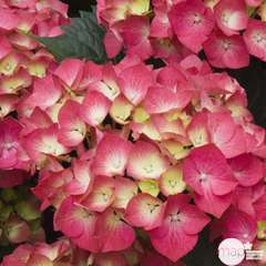 Hydrangea macrophylla ' Leuchtfeuer ': conteneur 5 litres (rouge)