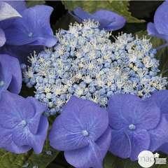 Hydrangea macrophylla ' Blue Sky ': conteneur 15 litres (bleu)