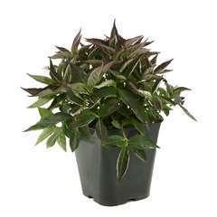 Hydrangea serrata ' Tiara ' : conteneur 5 litres (teller rose / bleu)