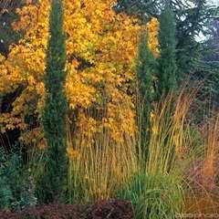 Cupressus Sempervirens Totem :  hauteur 150/175 cm, pot 18 L