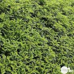 Prunus lusitanica 'Angustifolia': Hauteur 80/100cm conteneur 10 litres