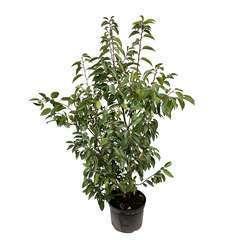 Prunus lusitanica: h.100/125cm pot 3L