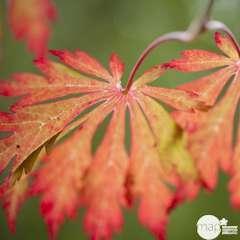 Acer japonicum : touffe, ctr 3 L - Variétés variables