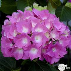 Hydrangea macrophylla 'Rosita', ctr 15 L (rose)