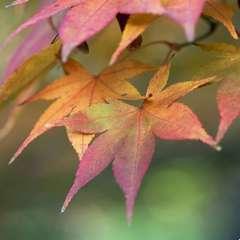 Acer palmatum : ctr 4 L